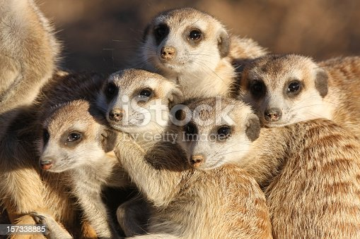 close-up of a group of meerkats (suricates) at late afternoon in the Kalahari, Namibia