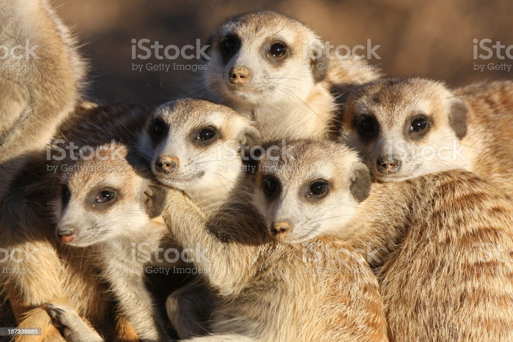 group of meerkats stock photo