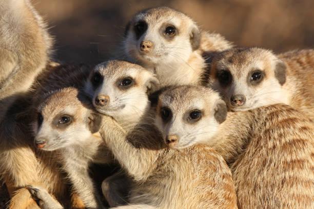 group of meerkats - meerkat stock photos and pictures