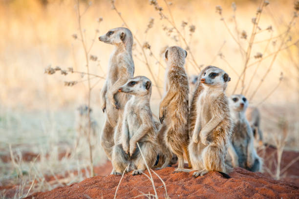 Group of meerkats A group of suricates stand guard outside their burrow system animal family stock pictures, royalty-free photos & images