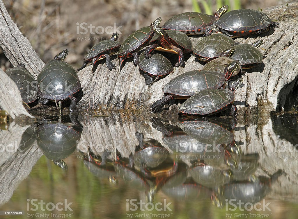 Group of Midland Painted Turtles on a Log stock photo