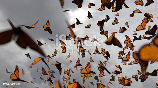many swarming butterflies