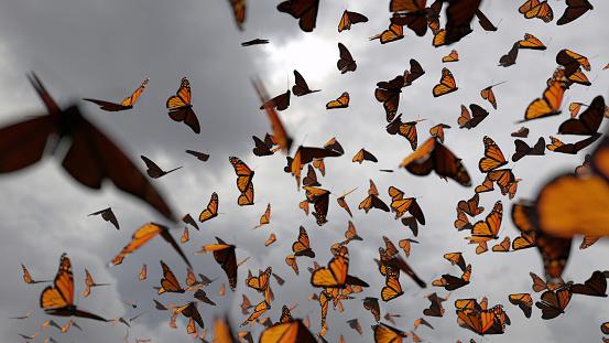 Monarch butterfly (Danaus plexippus) migration