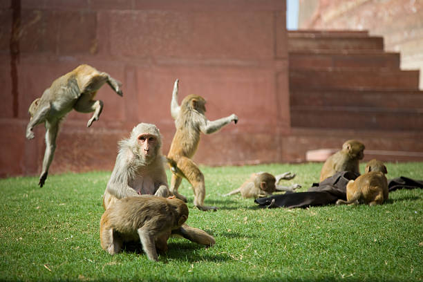 Group of Monkey, sacred indian creature, downloading improves your carma. stock photo