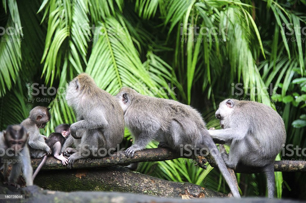 Group of Monkeys in balinese temple royalty-free stock photo