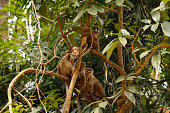 Group of monkeys resting on a tree in the Udawattakele Forest Reserve in Kandy on the tropical island of Sri Lanka.