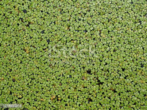 Group of Mosquito or Water fern and Duckweed  growing and cover surface of swamp