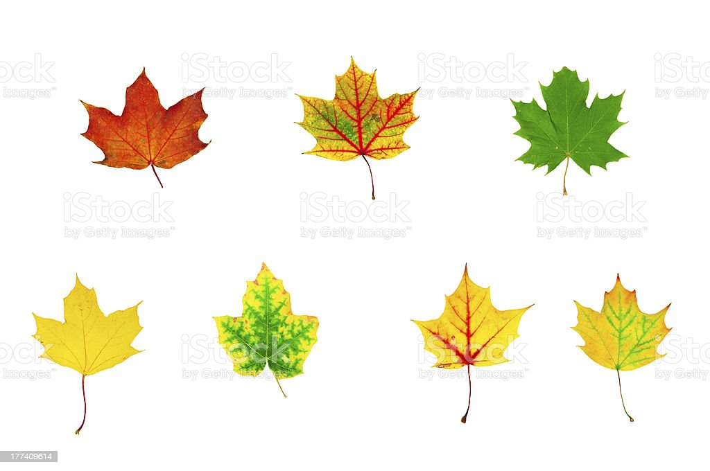 group of multicolored maple leaves stock photo