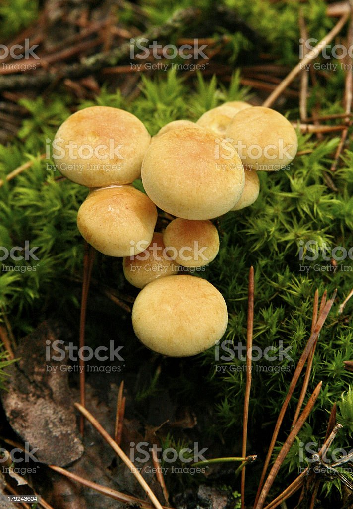 group of mushrooms in the forest royalty-free stock photo