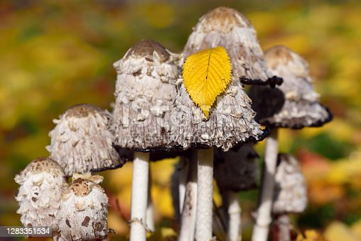 A group of mushrooms, the tintling (Coprinus comatus), grows in a meadow in autumn, with colorful leaves around them. A leaf lies on a mushroom