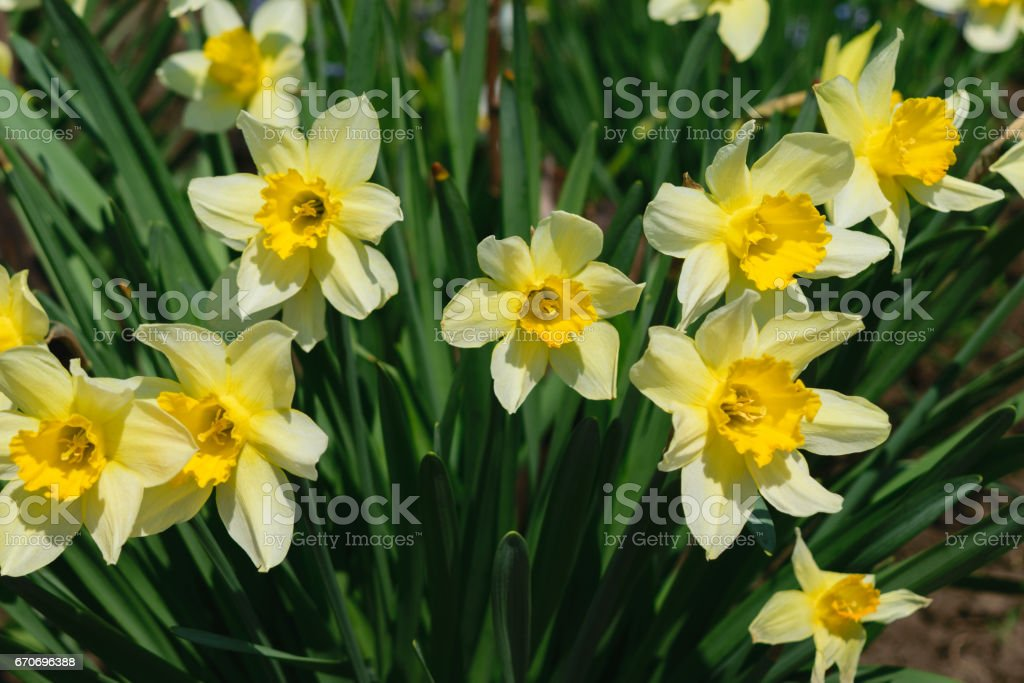group of narcissus pseudonarcissus commonly known as wild daffodil or Lent lily stock photo