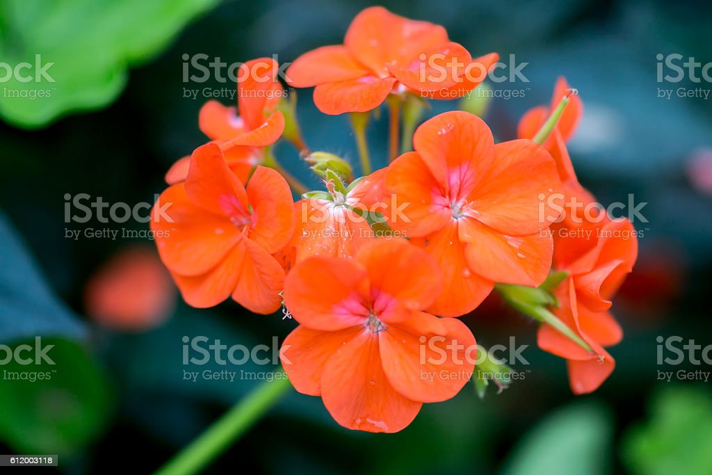 Group of Nasturtiums (Tropaeolum) in a Garden stock photo