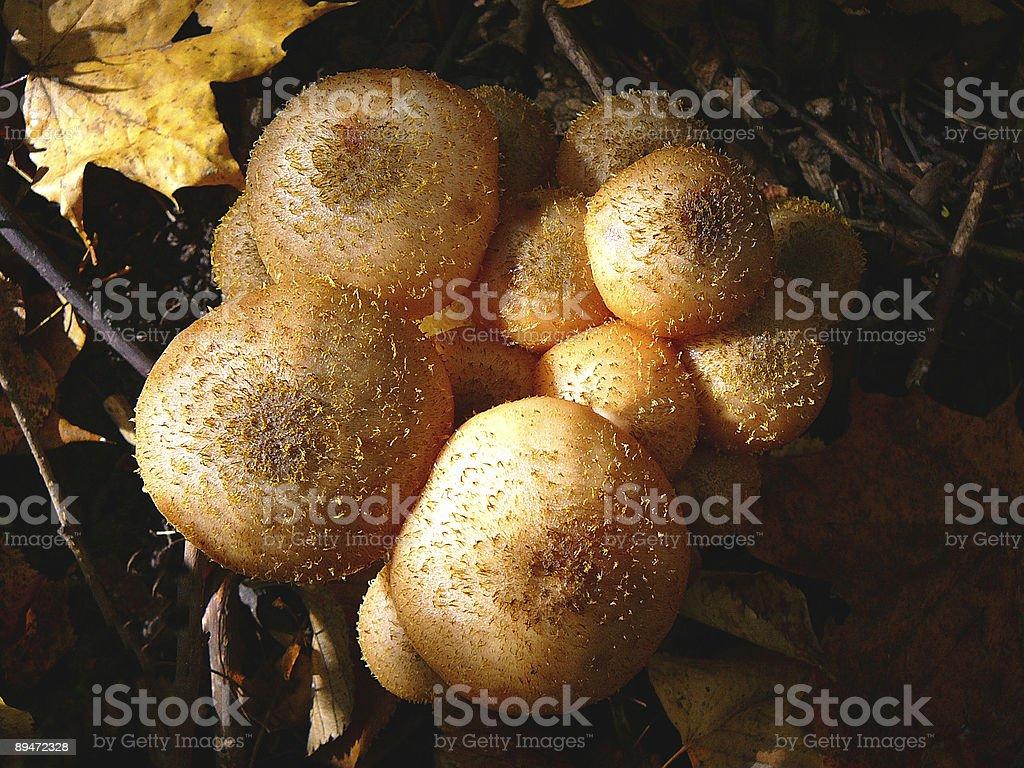 Grupo de Niza hongos en el bosque foto de stock libre de derechos