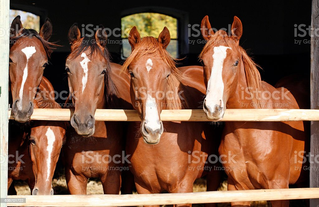 Group of nice thoroughbred foals looking over stable door royalty-free stock photo