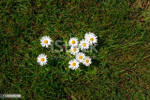 Overhead shot of a group of nine daisies growing amongst the grass in a field.