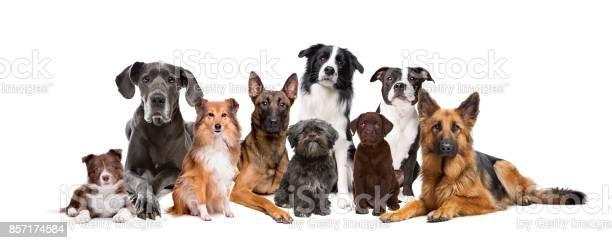 Gruppe Von Neun Hunden Stockfoto und mehr Bilder von Hund