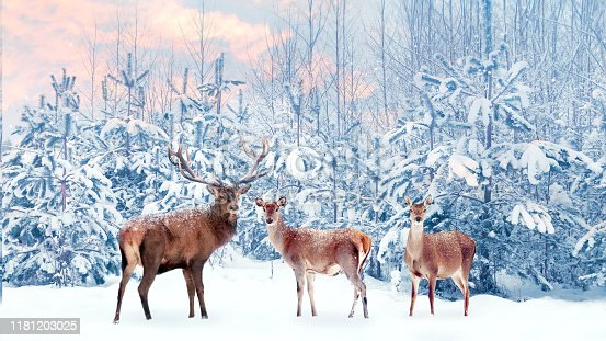 istock Group of noble deer in a snowy winter forest at sunset. Christmas fantasy image in blue, pink  and white color. Snowing. 1181203025