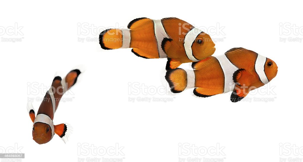 Group of Ocellaris clownfish, isolated on white stock photo