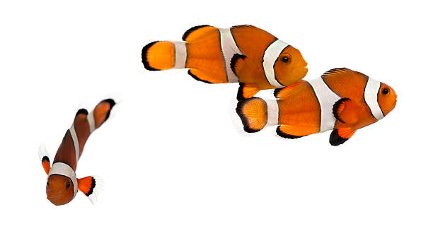Group of Ocellaris clownfish, isolated on white Group of Ocellaris clownfish, Amphiprion ocellaris, isolated on white false clown fish stock pictures, royalty-free photos & images