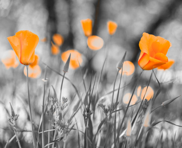 Group of Orange Californian Poppies stock photo