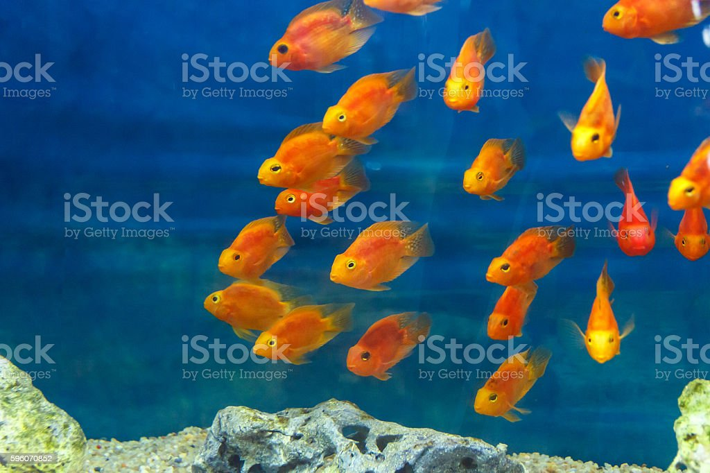 Group of orange red parrot cichlid stock photo