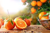 Oranges group freshly picked in a basket and on a brown wooden table in an orange grove. With a tree and garden background with afternoon sun. Horizontal Composition. Front view.