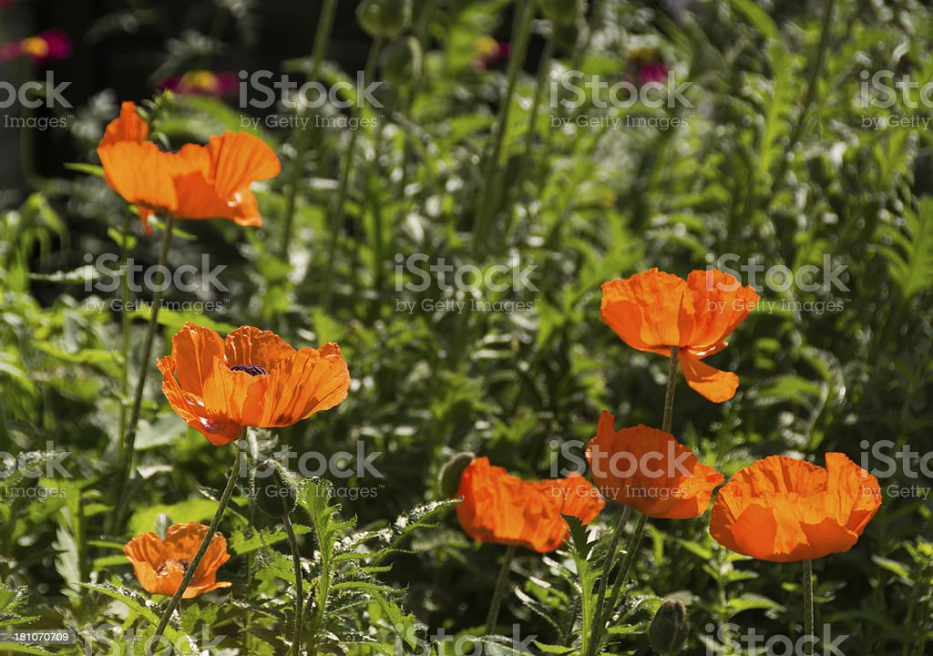 Group of Oriental poppies in bright side light. royalty-free stock photo