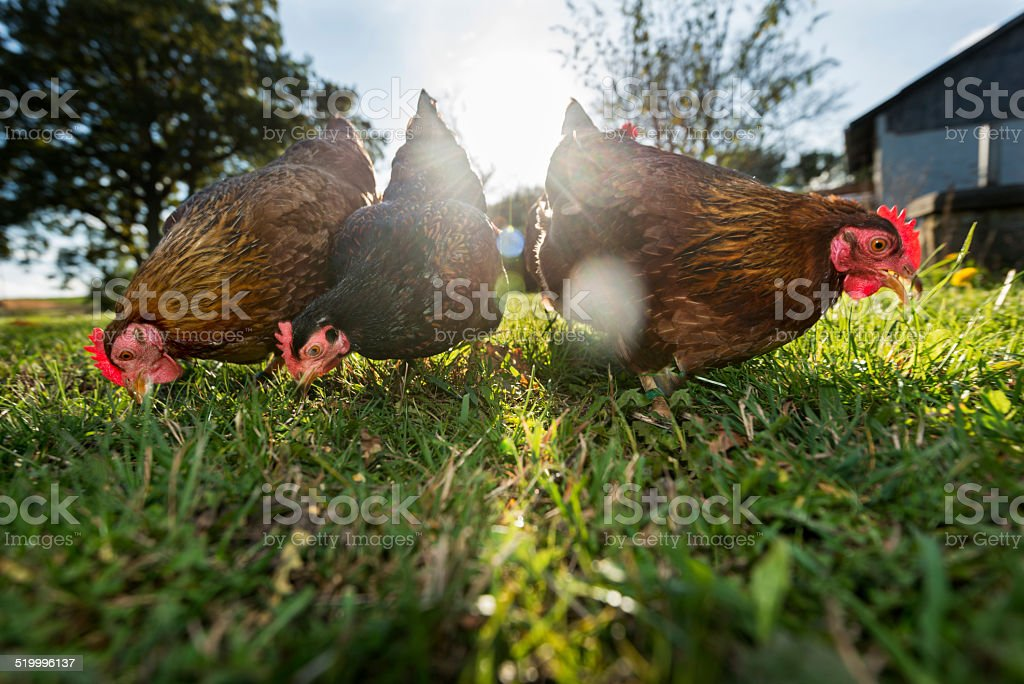 Group of Outdoor Raised Organic Chickens stock photo