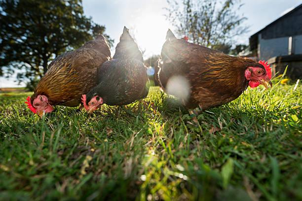 group of outdoor raised organic chickens - frigående bildbanksfoton och bilder