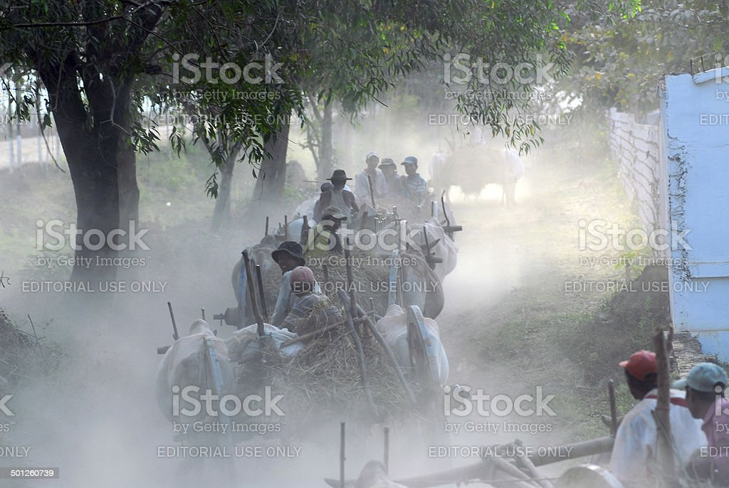 Group of ox carts journey home everyday in the evening. stock photo