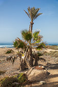 Group of dying palm trees close to the ocean