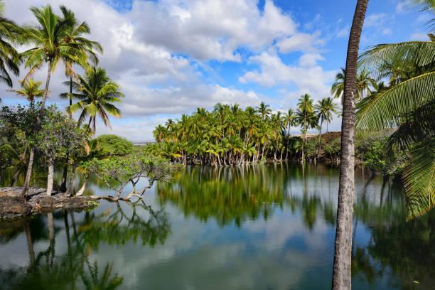 Eine Gruppe von Palmen am Ufer des Teiches - Big Island von Hawaii- – Foto