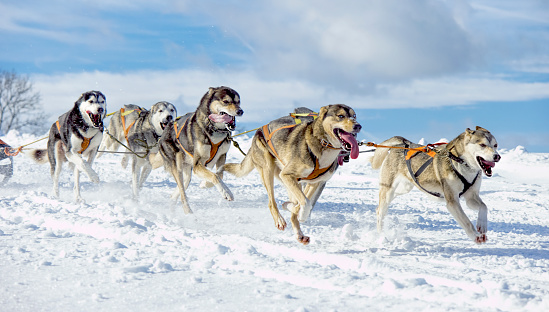 Herd of panting Siberian Huskies running through lonely winter landscape.