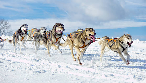 Group of panting  Siberian husky sled dogs running in snow stock photo