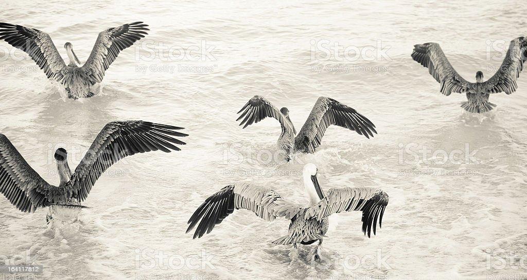 Grupa Pelikany w sepia – zdjęcie
