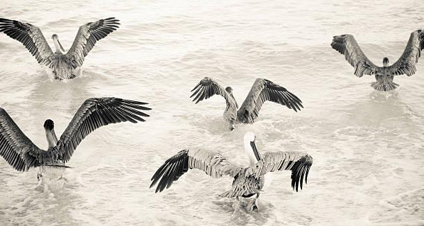 grupa pelikany w sepia - back to school zdjęcia i obrazy z banku zdjęć