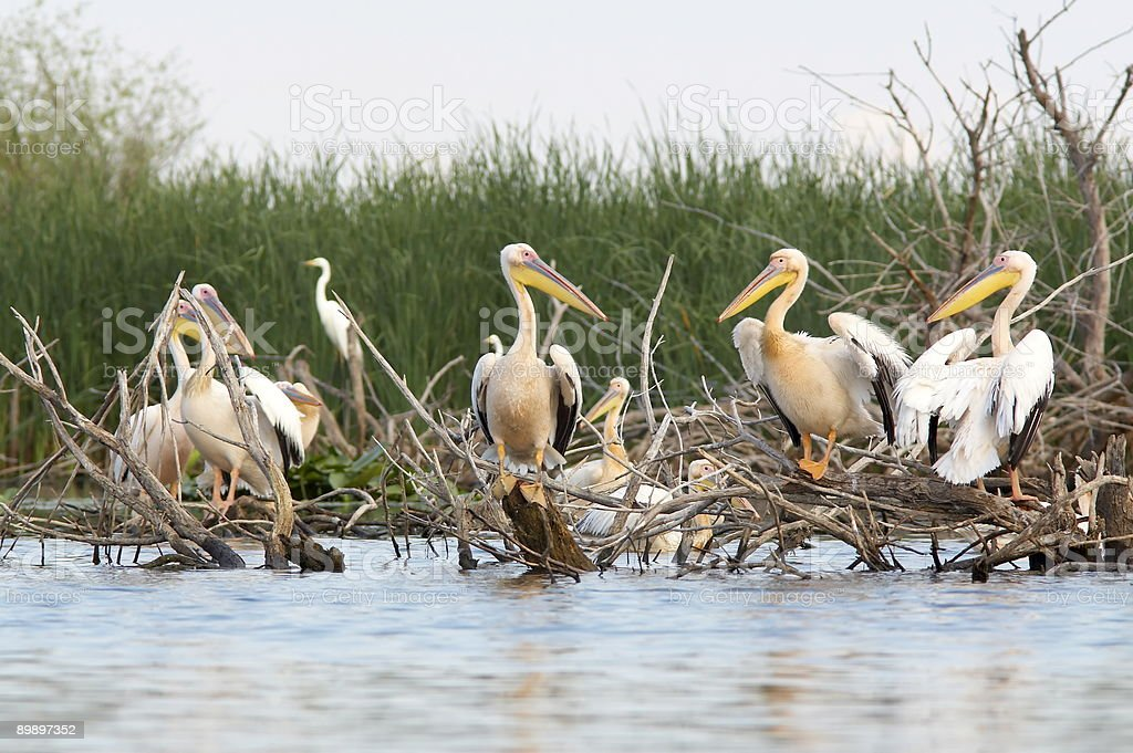 Grupo de pelicans on the lake (pelecanus onocrotalus foto de stock libre de derechos