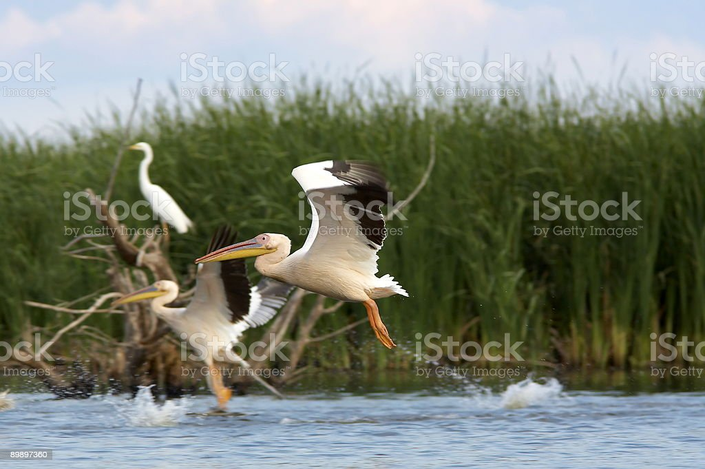 group of pelicans on the lake (pelecanus onocrotalus) royalty-free stock photo