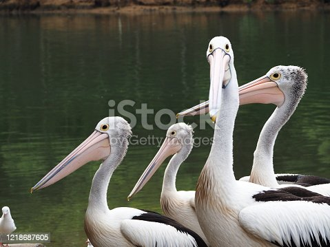 Closeup photo of several pelicans standing together on the edge of the Brunswick River in northern NSW Australia
