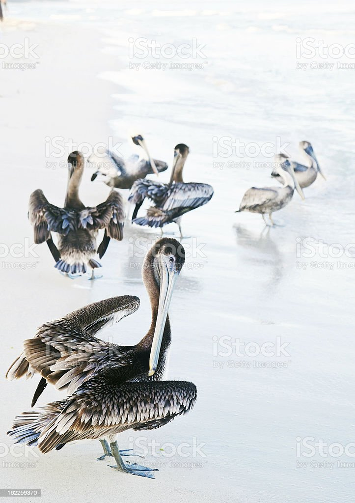 Grupa pelicans – zdjęcie