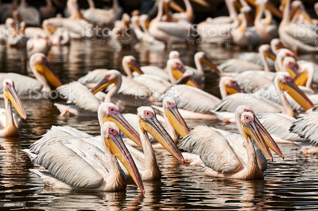 Group of Pelicans stock photo