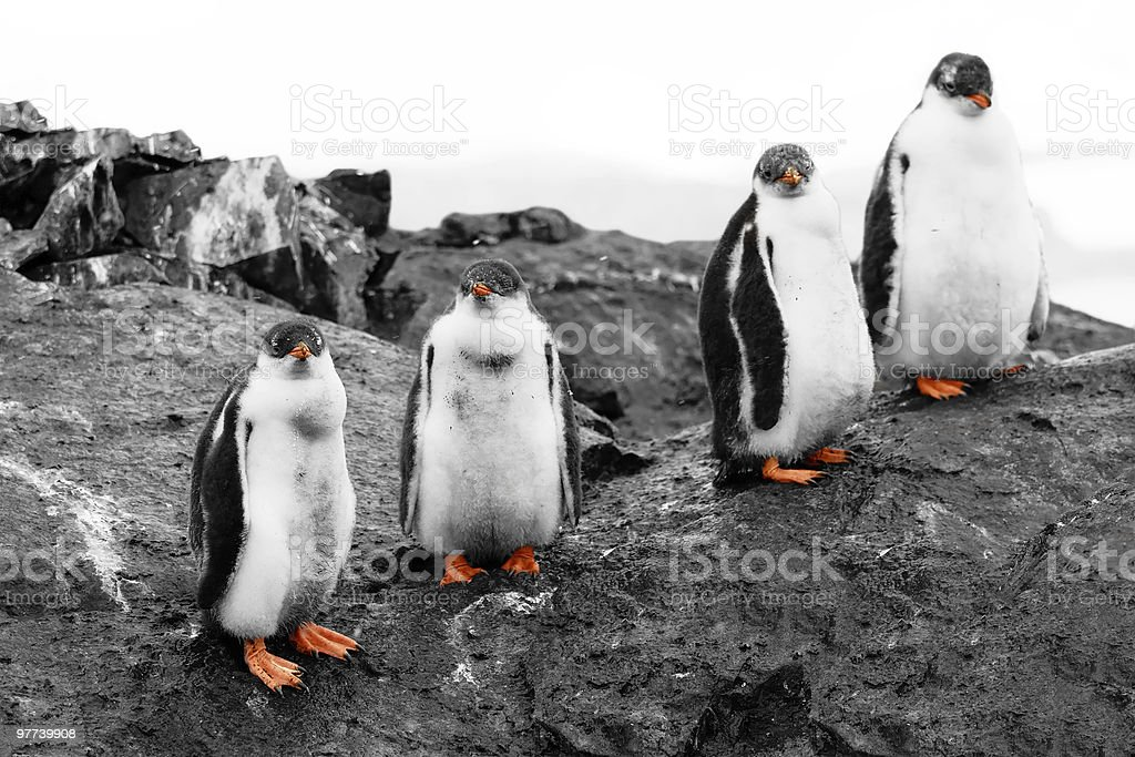 Group of penguin chicks royalty-free stock photo