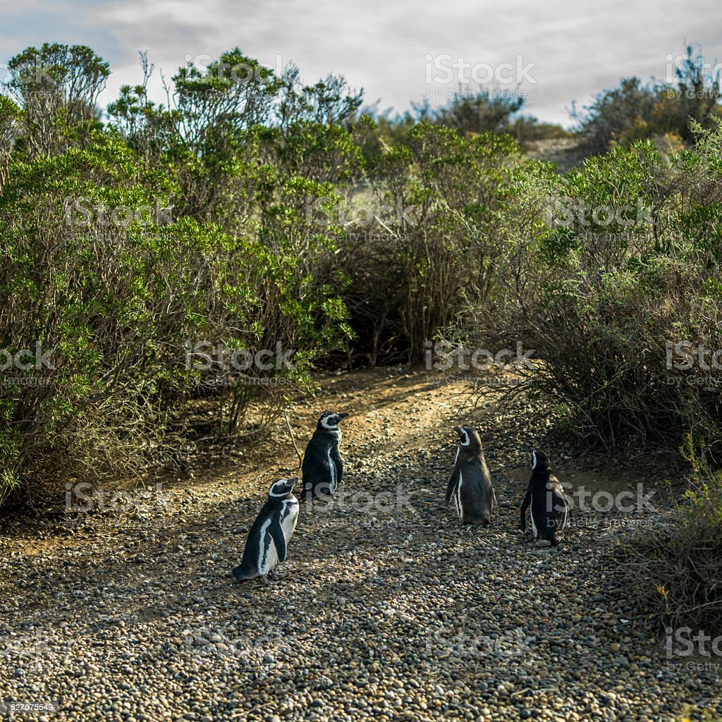 Grupo de pingüinos de espaldas stock photo