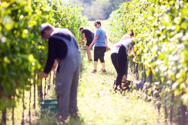 Gruppe von Menschen, die Ernte der Trauben im Weinberg – Foto