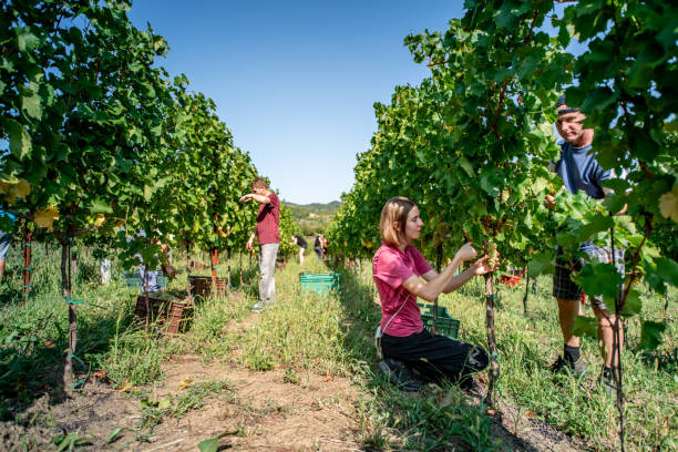 Group of People Harvesting Grapes in Vineyard Group of People Harvesting Grapes in Vineyard. agricultural cooperative stock pictures, royalty-free photos & images