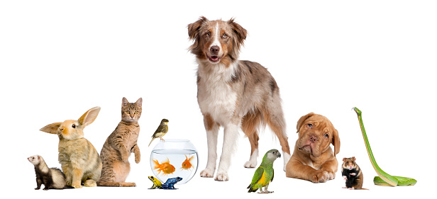 Group of pets together -Dog, cat, bird, reptile, rodent, ferret, fish, amphibian, in front of white background. Perfect picture for pet shop advertising.