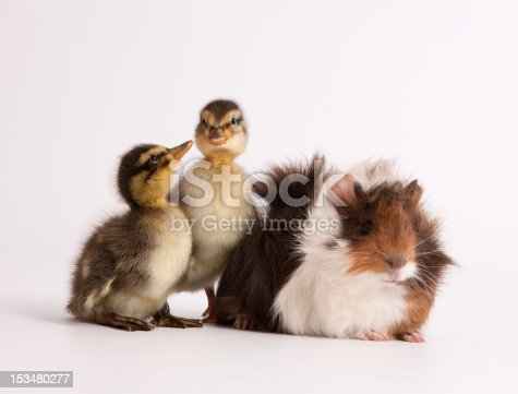 Group of pets: guinea and ducklings, studio shot, front view, white background