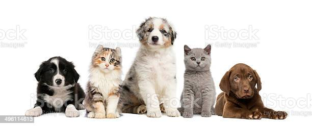 Group of pets kitten and puppy on a raw picture id496114613?b=1&k=6&m=496114613&s=612x612&h=wmfyrxgvjhbicxgjp0aso9nfst6qy bfcsgipch3tfy=