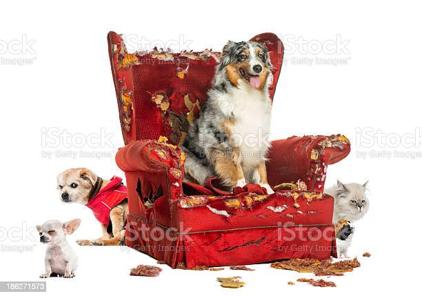 Group of pets on a destroyed armchair isolated picture id186271573?b=1&k=6&m=186271573&s=612x612&h=kc4npnp0guwfq2o9igrbx1pqfjyngqwkaob6yui4h4c=
