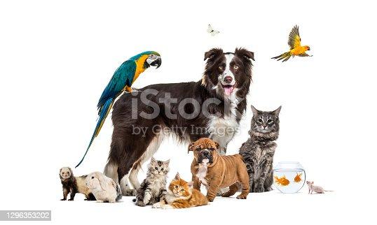 istock Group of pets posing around a border collie; dog, cat, ferret, rabbit, bird, fish, rodent 1296353202
